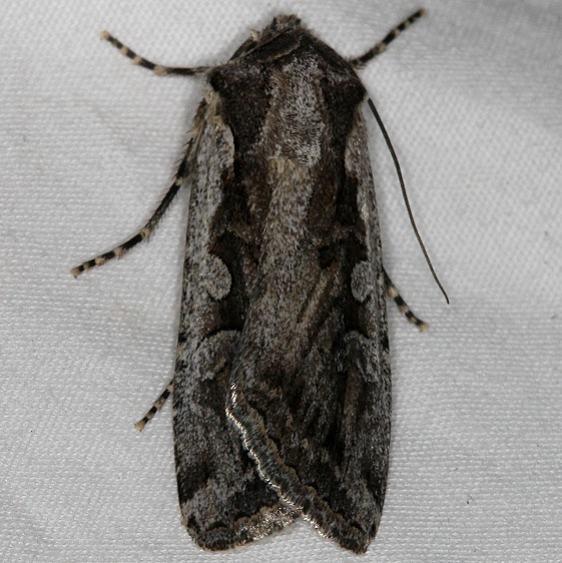 10826 Euxoa idahoensis Mesa Verde Natl Pk Colorado 6-10-17 (52)_opt