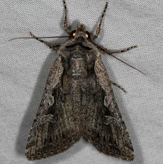 10826.1 Euxoa furtivus Mesa Verde Natl Pk Colorado 6-10-17 (35)_opt