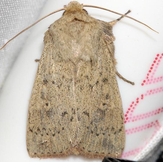 10928 Double Dart Moth yard 5-14-12