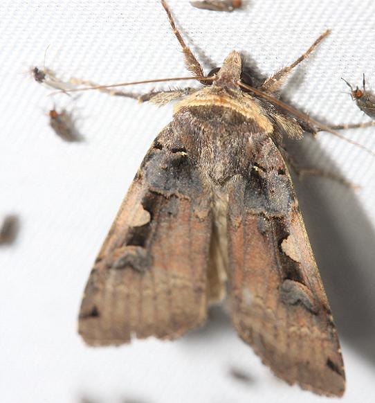 10942.1 Greater Black-letter Dart Moth Thunder Lake UP Mich 6-24-12 (8a)