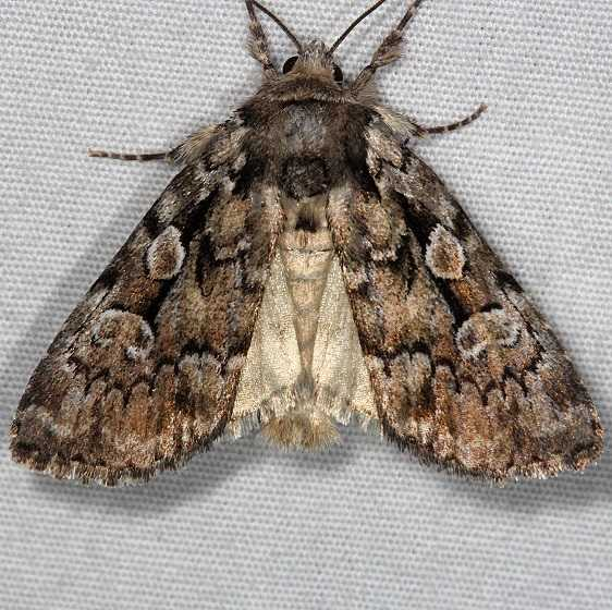 10968 Northern Variable Dart Moth Thunder Lake UP Mich 6-21-14