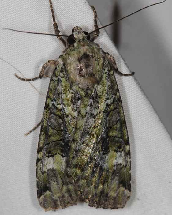 11000 Green Arches Moth Lake of the Woods Ontario 7-27-16 (24a)_opt