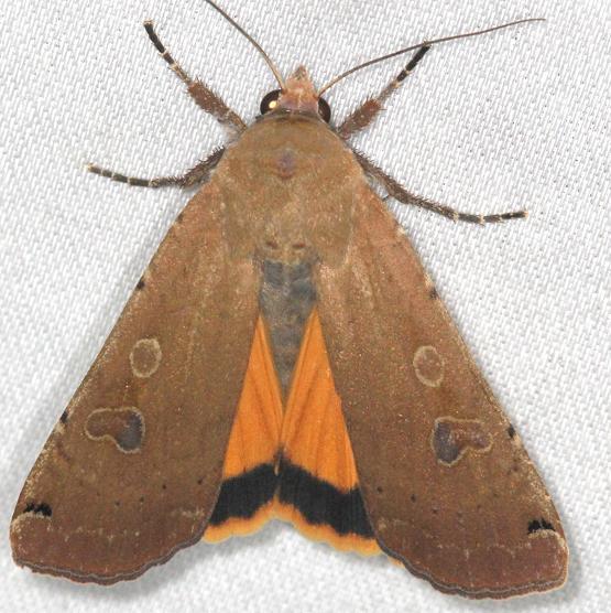 11003.1 Large Yellow Underwing Moth yard 5-27-13 (14)