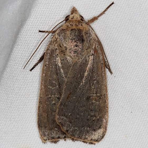 11003.2 Lesser Yellow Underwing Moth yard 10-6-15