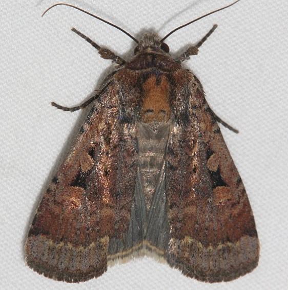 11008 Two-spot Dart Moth Mesa Verde Colorado 6-11-17 (30)_opt