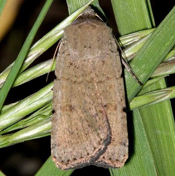 11028 Abagrotis baueri Mesa Verde Natl Pk Colorado 6-10-17 (74)_opt