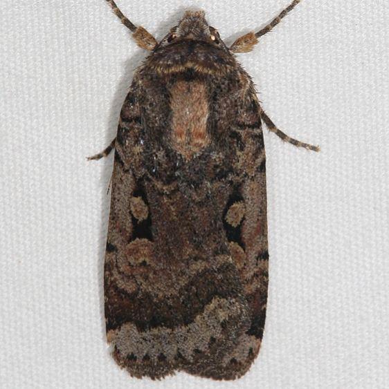 11035 Abragotis discoidalis Mesa Verde National Pk Colorado 6-9-17 (25)_opt