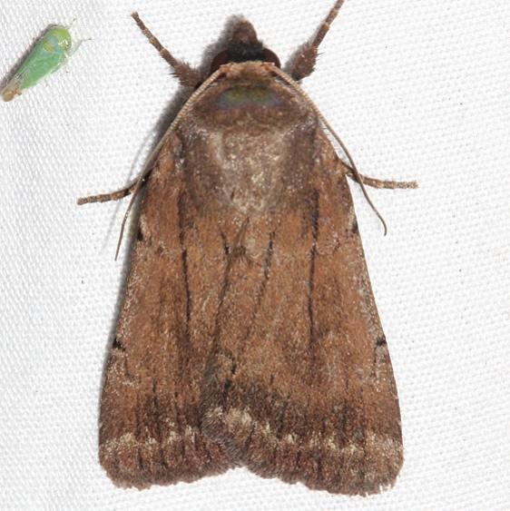 11040 Abagrotis reedi tentative worn Colorado National Monument 6-18-17 (61)_opt