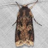 10661 Agrotis malefida Rascal Dart Collier Seminole St Pka 3-2-14 (104)_opt