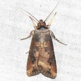 10663 Ipsilon Dart Moth yard 6-9-12