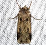 10664 Subterranean Dart Alexander Springs Ocala Natl Foresta 3-18-13 (45)