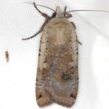 10705 Reaper Dart Moth yard 5-27-13