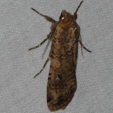 10727 Fawn Brown Dart Moth yard 10-21-09 (2)_opt