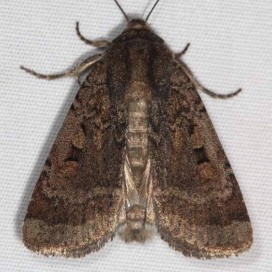 10755 Euxoa declarata Clear Dart Moth Mesa Verde National Pk Colorado 6-9-17 (30)_opt