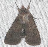 10803 Fleece-winged Dart Moth yard 8-10-16_opt