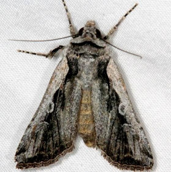 10868.97 Unidentified Euxoa Moth BG White House campground Grand Staircase Escalante Utah 5-25-17 (68)_opt