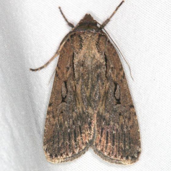 10892.2 Protogygia rufescens Mesa Verde Natl Pk Colorado 6-10-17 (38)_opt