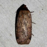 10902 Forbes' Dart Moth yard 9-10-09