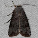 10911 Green Cutrworm Moth Rodman Campgrounda 3-20-14 (20)_opt