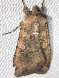 10915 Variegated Cutworm Moth yard 9-4-12 (28a)