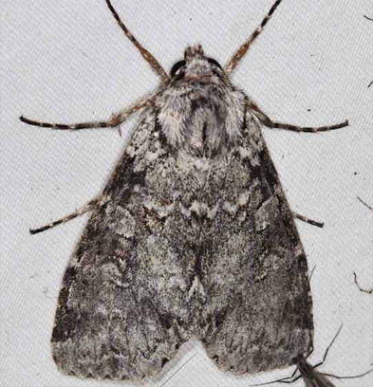 10929 Great Brocade Moth Lake of the Woods Ontario 7-26-16 (30a)_opt