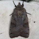 10944 Smith's Dart Moth yard 9-2-14