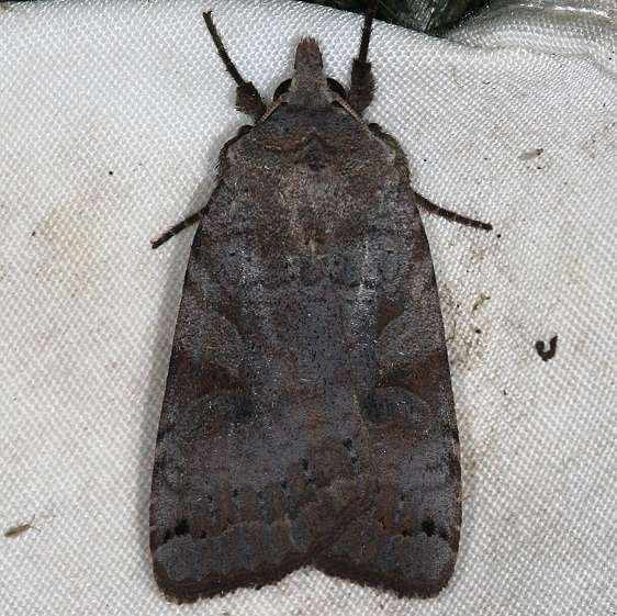 10944 Smith's Dart Moth yard 9-2-14