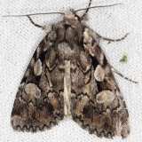 10968 Northern Variable Dart Moth Thunder Lake Micha 6-21-13 (134)_opt
