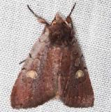 10969 Dull Reddish Dart Moth Village Creek St Pk, Texasa 11-6-13 (52)_opt