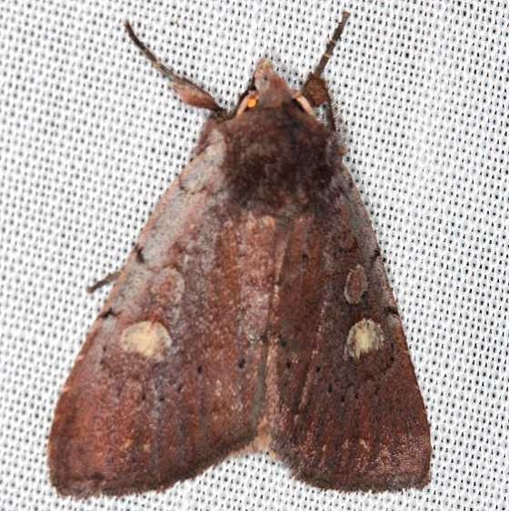 10969 Dull Reddish Dart Moth Village Creek St Pk, Texasa 11-6-13 (52)_opt