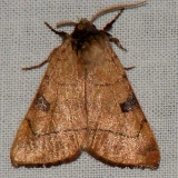 10998 Bent-line Dart Moth yard 9-18-08
