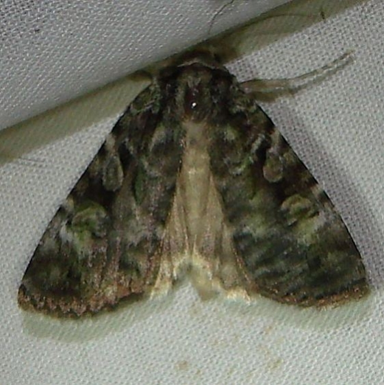 11000 Green Arches Anaplectoides prasina Thunder lake Mich 6-23-10a_opt