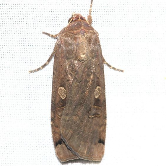 11003.1 Large Yellow Underwing yard 6-7-12