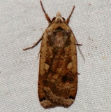11003.1 Large yellow Underwing Moth yard 8_14_08 (13)a_opt