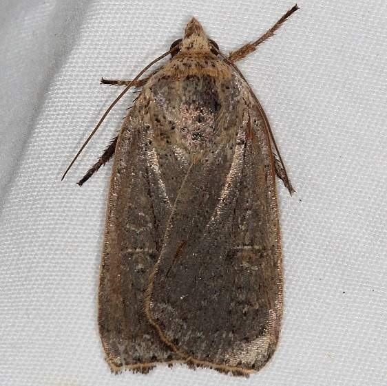 11003.2 Lesser Yellow Underwing Moth yard 10-6-15