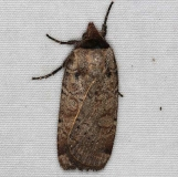 11006 Brown-collared Dart Moth yard 7-23-14 (14)_opt
