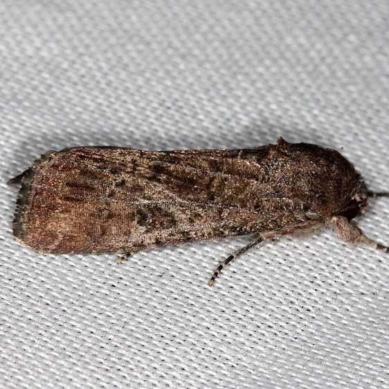 10665 Repleta Dart Moth tenative NABA Gardens Texas 11-3-13