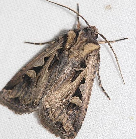 10676 Masters Dart Moth yard 8-21-12