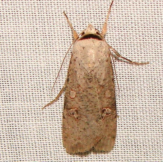 10901 Slippery Dart Moth Kissimmee Lake State Park 2-21-12 (17a)