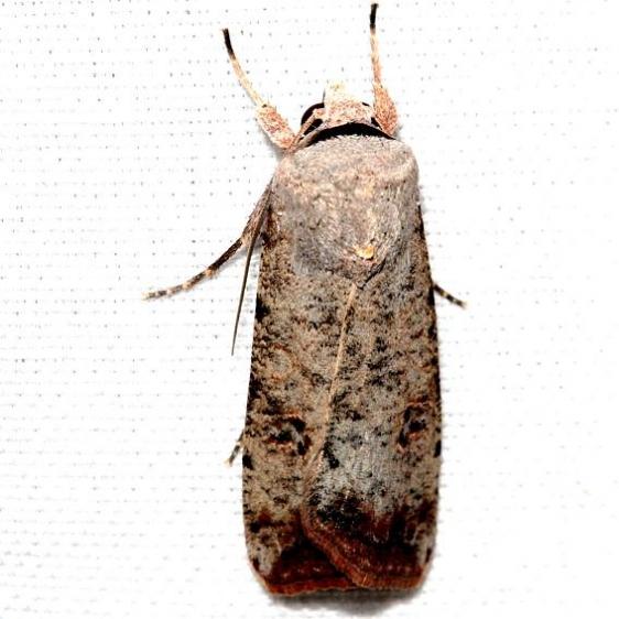 10903 Snowy Dart Moth Lake Kissimmee St Pk Fl 2-28-13 (20a)