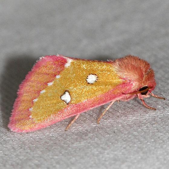 11055-Pink-Star-Moth-Lake-Kissimmee-St-Pk-Fl-2-28-13-27a