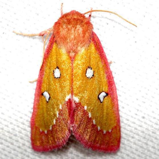 11055-Pink-Star-Moth-Lake-Kissimmee-St-Pk-Fl-2-28-13-32a