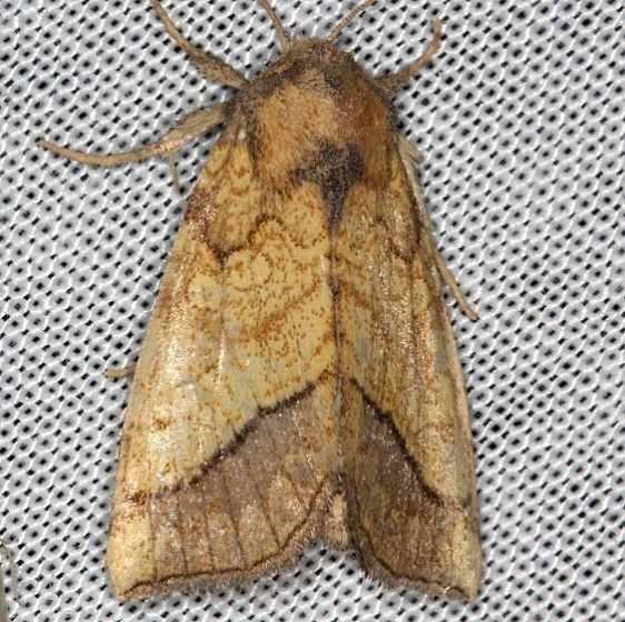 11063 Bordered Sallow Moth Battelle Darby Biggert Rd 8-19-16