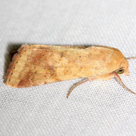 11068-Corn-Earworm-Moth-yard-8-10-12