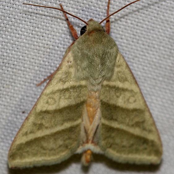 11070-Subflexus-Straw-Moth-yard-9-1-12