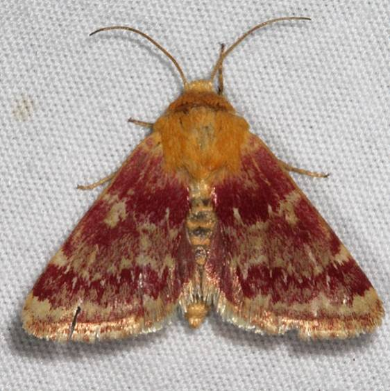 11106 Painted Schinia Moth White House campground Grand Staircase Escalnte Utah 5-25-17 (50)_opt