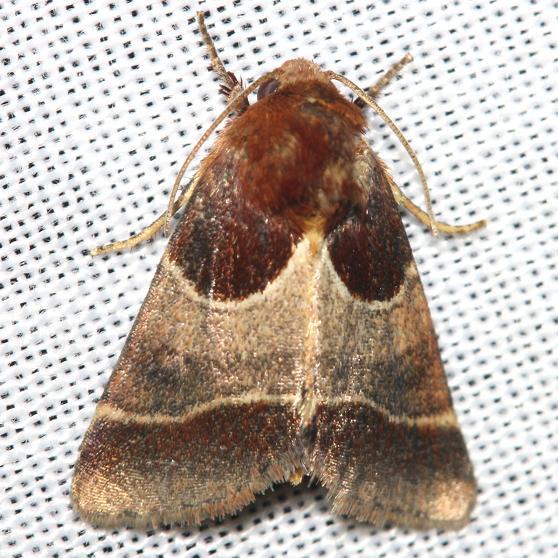 11128-Arcigera-Flower-Moth-yard-8-29-12