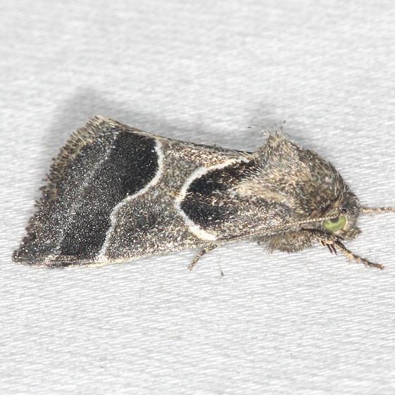11135-Ragweed-Flower-Moth-yard-8-9-13-16