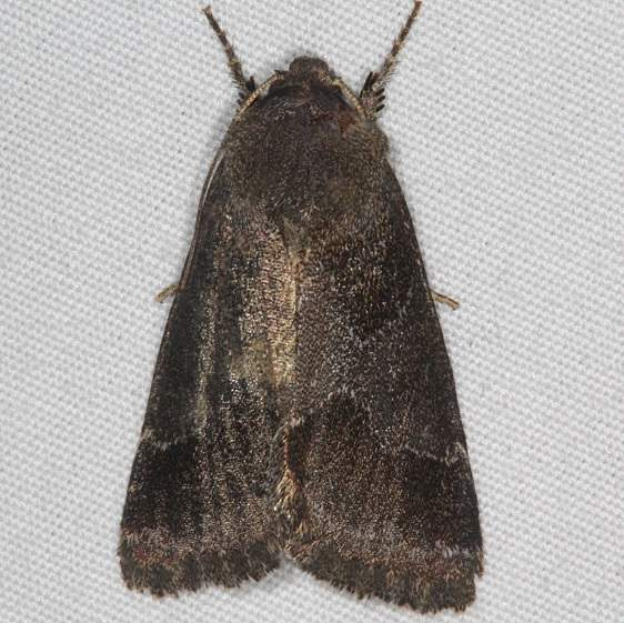 11141-Thoreaus-Flower-Moth-yard-8-5-15