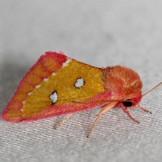 11055-Pink-Star-Moth-Lake-Kissimmee-St-Pk-Fl-2-28-13-22a